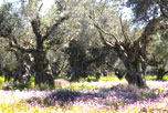 The Iconpainter's olive orchards